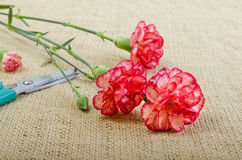 Cut Carnation Royalty Free Stock Image