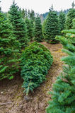 Cut Christmas tree in a nursery Royalty Free Stock Photos