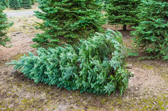 Cut Christmas tree in a nursery Stock Image