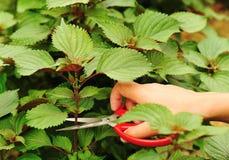 Cut coleus plants. Hand cut coleus plants with scissors Royalty Free Stock Photos
