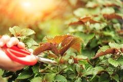 Cut coleus plants. Hand cut coleus plants with scissors Stock Images