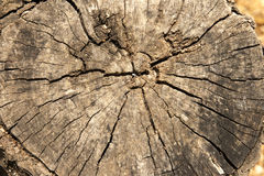 Cut of cracked old wooden trunk with age rings closeup background grunge texture Royalty Free Stock Image