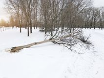Cut dead trees in the park in winter.  royalty free stock photo