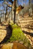 Cut down oak tree Stock Photo