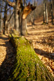 Cut down oak tree Royalty Free Stock Images
