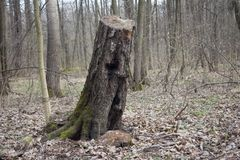 Cut down the old tree. The Scarecrow forest watching us.nThe old tree has an angry face in the bark Stock Photos