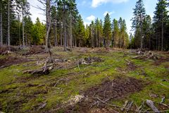 Cut down pest infested forest in mountainous terrain. Devastated woods, stumps and dry branches on ground, ecology and deforestation issues concept royalty free stock image
