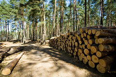 Cut down and piled pine logs Stock Images