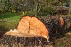 Cut Down Pine Royalty Free Stock Image