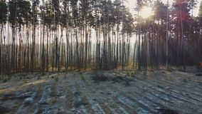 Cut down pine trees as result of mass deforestation, environmental problem