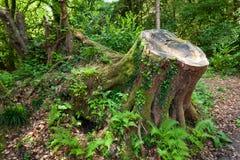 Cut down tree Stock Image