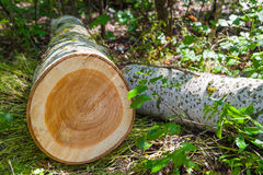 Cut down a tree. Annual rings on a section cut tree stock images