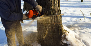 Cut down the tree with a chainsaw. Cut down the dry tree with a chainsaw in the winter stock image
