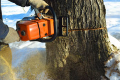 Cut down the tree with a chainsaw. Cut down the dry tree with a chainsaw in the winter royalty free stock images