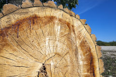Cut down a tree, close-up Royalty Free Stock Photos