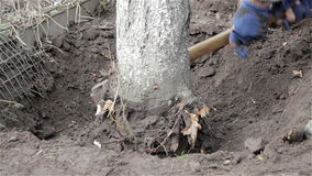 Cut down a tree root stock video