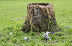 Cut down tree stump Royalty Free Stock Photos