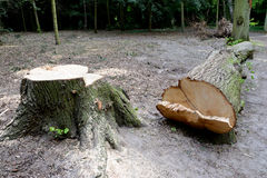 Cut down tree Royalty Free Stock Image
