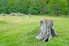 Cut down tree in Tierra del Fuego Stock Photo