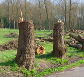 Cut down trees. Couple of cut down poplar trees Stock Photography