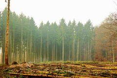 Cut down trees in the forest in the autumn Stock Images