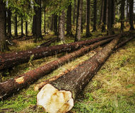 Cut down trees in the forest Stock Image