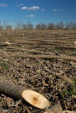 Cut down young tree trunk. Young poplar trees just cut Royalty Free Stock Photos