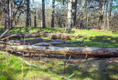 Cut dry pine tree trunks. On a green grass in a forest Royalty Free Stock Photography