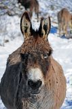 Cut ear donkey detail Royalty Free Stock Photos