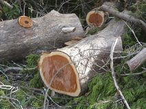 Cut Eastern Red Cedar Logs Royalty Free Stock Images