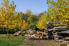 Cut forest trees. In autumn Stock Photos