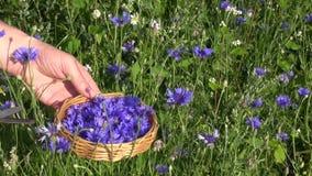 Cut fresh medical cornflower blossom stock video