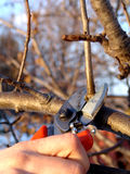 Cut fruit tree. In early spring time Stock Photo