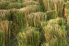 Cut grass. Bundles of cut grass Royalty Free Stock Photo