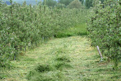 Cut grass in apple orchard Stock Photography