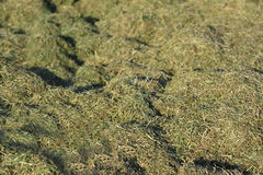 Cut grass on the lawn, unharvested hay. Royalty Free Stock Photography