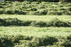 Cut green grass Royalty Free Stock Photos