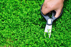 Cut green selaginella uncinata Stock Photo