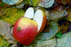 Pieces of a large red apple on yellow leaves stock photos