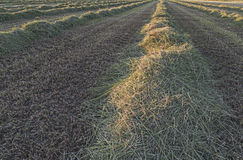 Cut Hay in Field Royalty Free Stock Photography