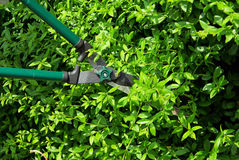 Cut a hedge Stock Photo