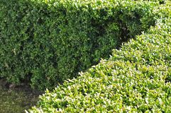 Cut hedge of boxwood. Cut hedge at a front yard of common box, buxus sempervirens stock images