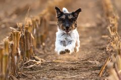 Cut Jack Russell doggy is racing over a corn field in autumn. stock photo