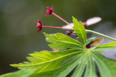 Cut-leaved Japanese maple Acer japonicum `Aconitifolium`. Red flowers and leaves of tree in the family Sapindaceae, aka downy Japanese maple Royalty Free Stock Photo