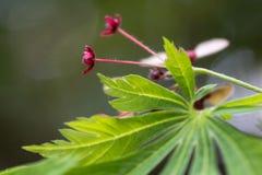 Cut-leaved Japanese maple Acer japonicum `Aconitifolium` Royalty Free Stock Photo
