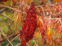 Cut leaf staghorn sumac flower close up in autumn. Cut-leaves staghorn sumac flower close up in autumn. Also known as Rhus typhina `Dissecta royalty free stock images