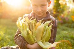 Cut little boy with corn in hands. Autumn sunset in garden.. stock photography