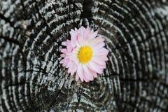 Cut log circles Royalty Free Stock Photography