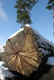 Cut log in snow. The end of a cut log cut silhouetted against blue sky Stock Photography