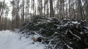 Cut logs and branches from a tree trunk lying in the forest partially covered in snow.  stock footage